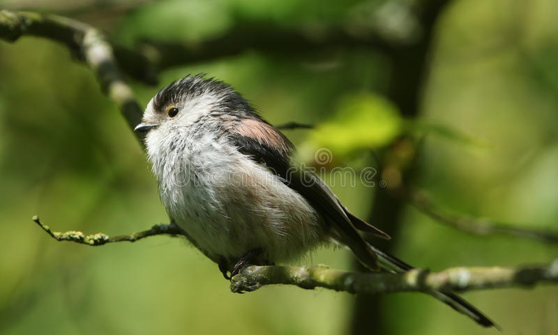 A stunning Long-tailed Tit Aegithalos caudatus perched in a tree. stock image