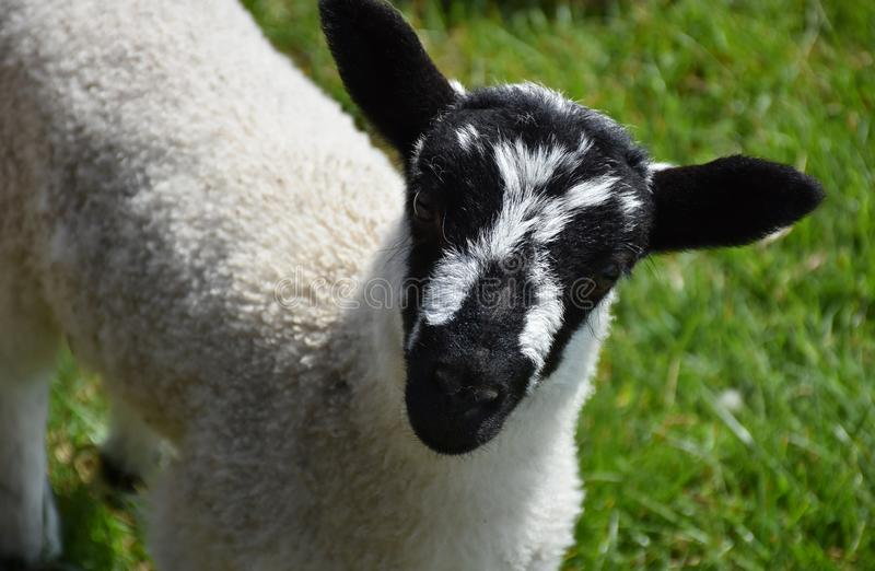 Stunning Look Into the Face of a Black and White Mottled Young Lamb. Young lamb with a cute mottled black and white face royalty free stock photos