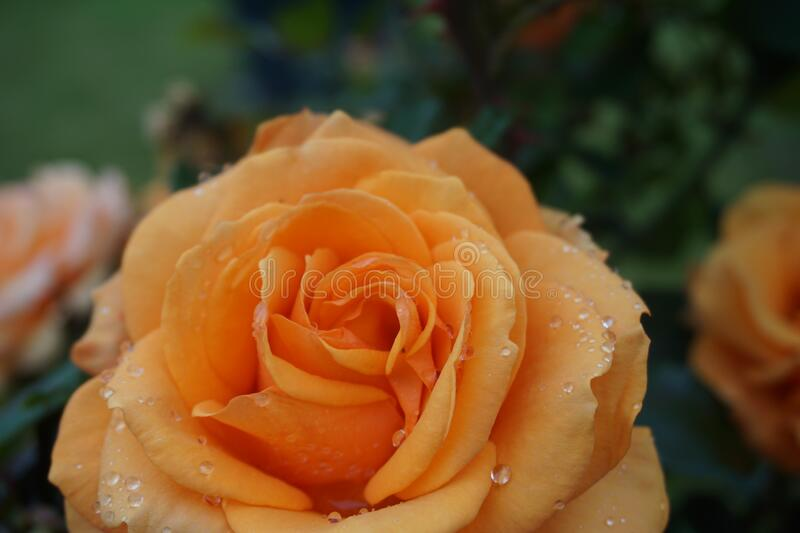 Stunning macro closeup of orange rose in a rose garden with shallow depth of field. Beautiful vivid orange colour with crisp water droplets on the petals stock photos
