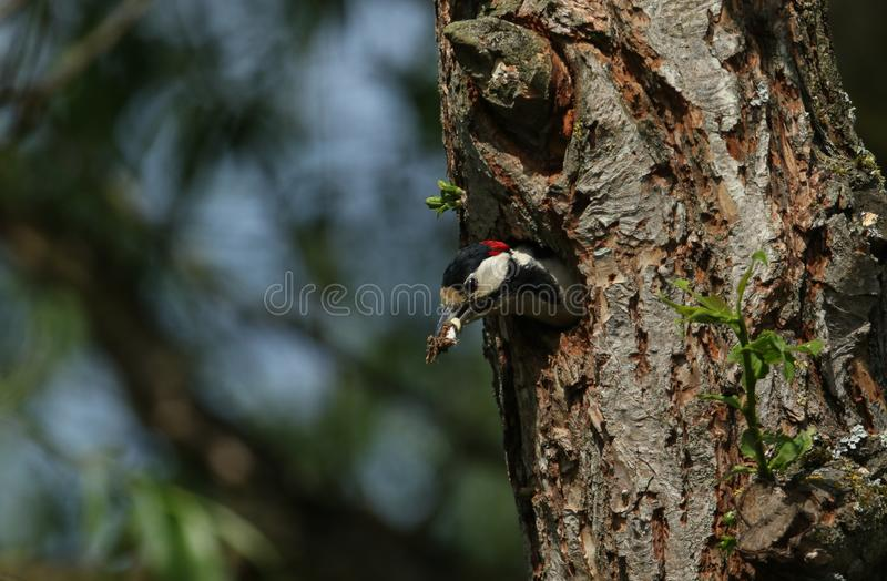 A stunning male Great spotted Woodpecker, Dendrocopos major, coming out of its nesting hole. It has a fecal sac in its beak which stock photography