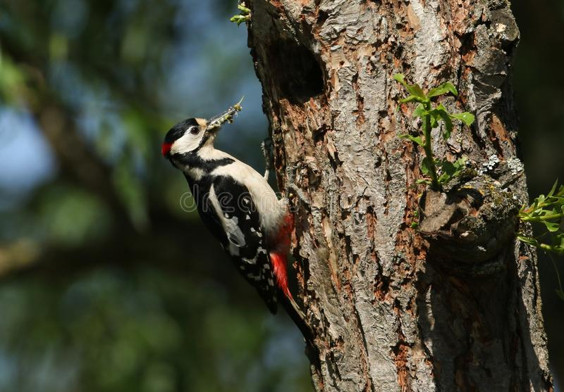 A stunning male Great spotted Woodpecker, Dendrocopos major, perching on the edge of its nesting hole in a Willow tree with a beak royalty free stock image