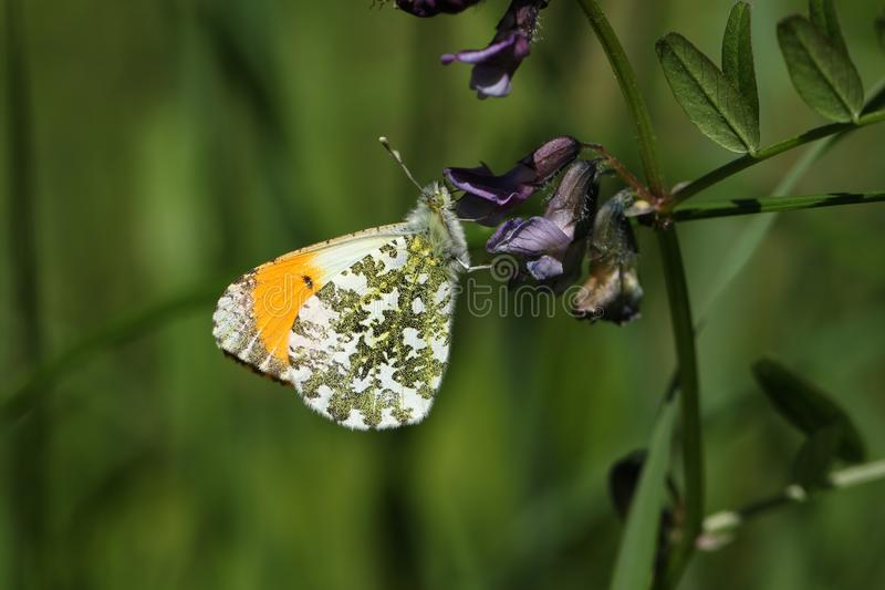 A beautiful male Orange Tip Butterfly Anthocharis cardamines nectaring on a flower. A stunning male Orange Tip Butterfly Anthocharis cardamines nectaring on a stock images