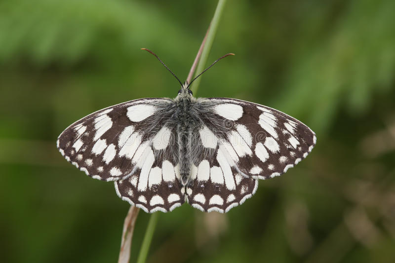 A stunning Marbled White Butterfly, Melanargia galathea, perched on a blade of grass with its wings open. royalty free stock photos