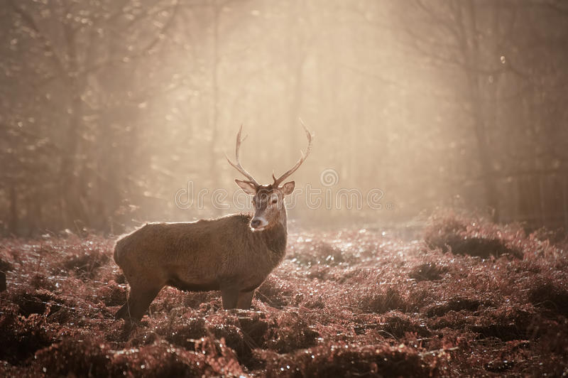 Stunning mature red deer stag in forest landscape. Red deer stag in Winter forest landscape stock photos