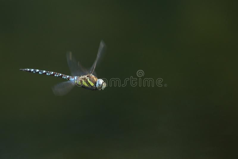 A stunning Migrant Hawker Dragonfly Aeshna mixta flying over a lake in the UK. royalty free stock photos