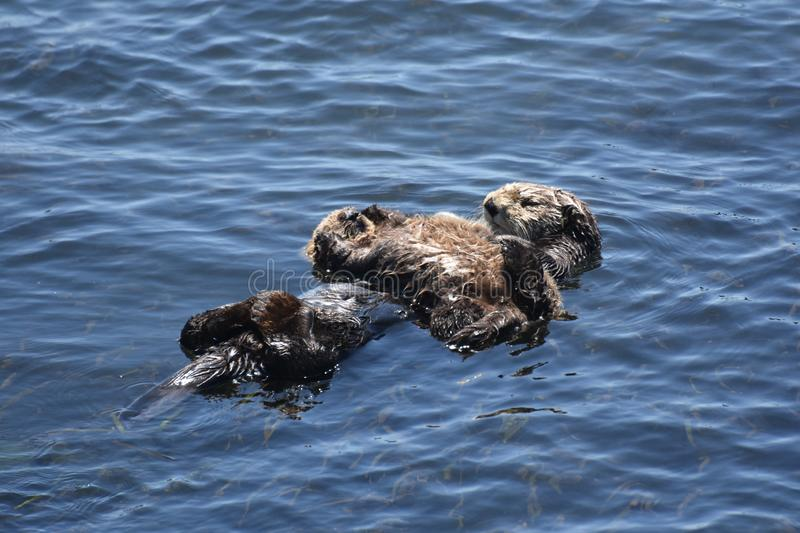 Stunning Mother and Baby Sea Otter on their Backs. Floating pair of a baby sea otter with it`s mother in the Pacific ocean royalty free stock photos