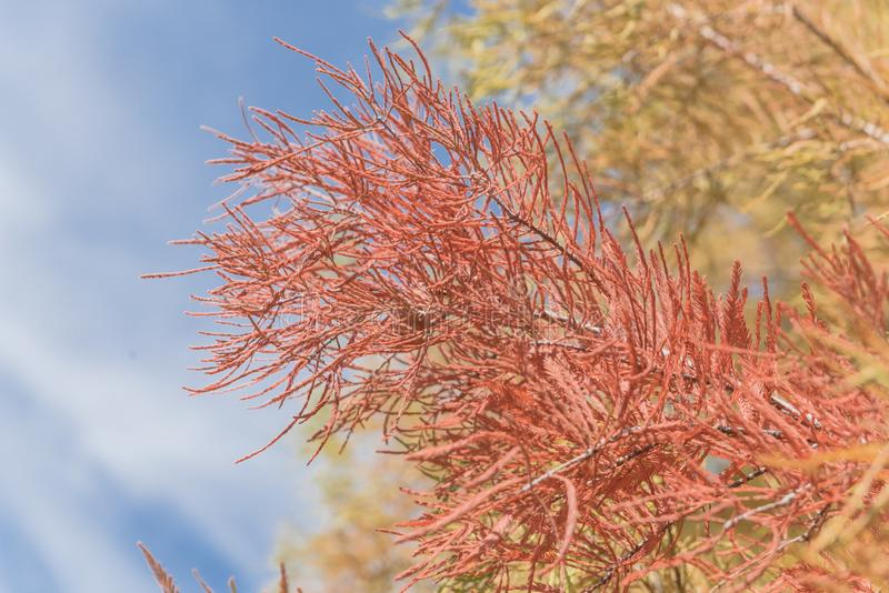 Stunning orange color of Bald Cypress tree autumn leaves blue sk stock photos