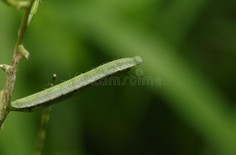 A pretty Orange-tip Butterfly Caterpillar Anthocharis cardamines feeding on a Garlic Mustard plant. A stunning Orange-tip Butterfly Caterpillar Anthocharis royalty free stock images