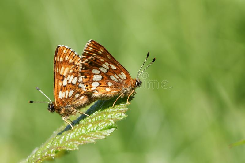 A stunning pair of mating Duke of Burgundy Butterfly Hamearis lucina perching on a leaf. royalty free stock image