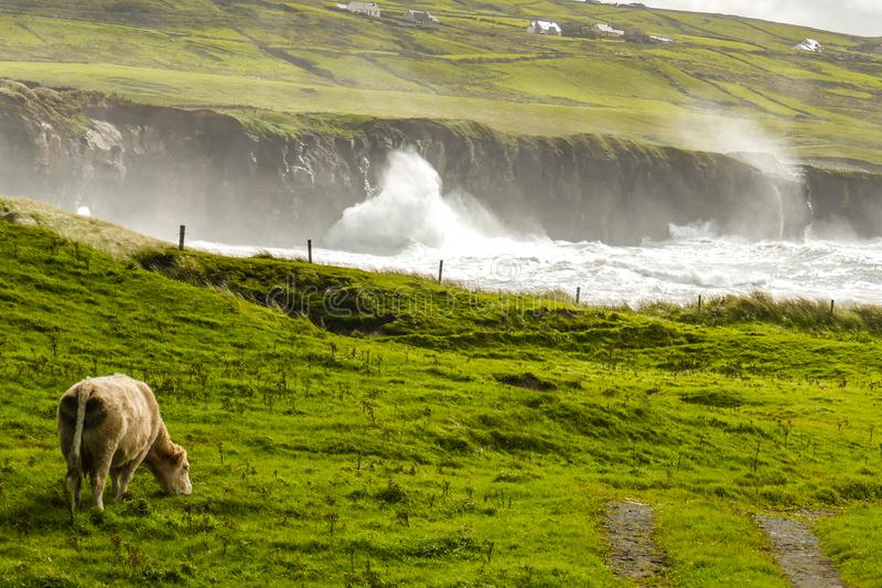 In a stunning pastoral scene on the Irish Wild Atlantic Way, a cow peacefully grazes by a coastal cove at high tide. royalty free stock photography