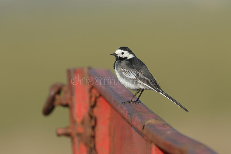 A stunning Pied wagtail Motacilla alba perched on farming machinery. A beautiful adult Pied wagtail Motacilla alba perched on farming machinery royalty free stock photo