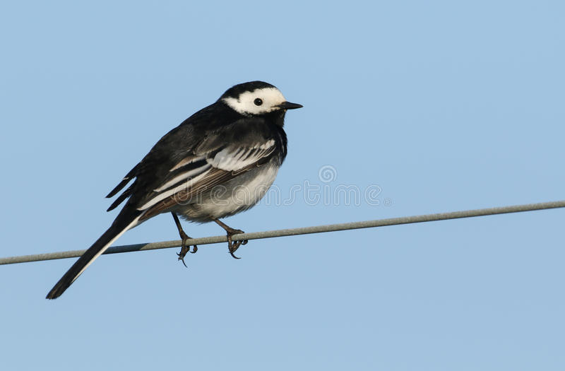 A stunning Pied wagtail ,Motacilla alba, perched on a wire. A beautiful adult Pied wagtail, Motacilla alba, perched on a wire royalty free stock photos