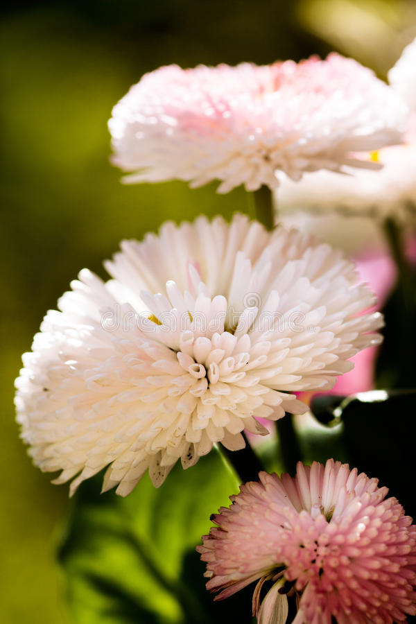 Stunning pink daisies. stock photos