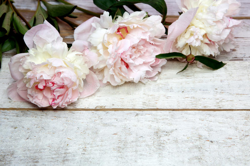 Stunning pink peonies on white rustic wood stock images