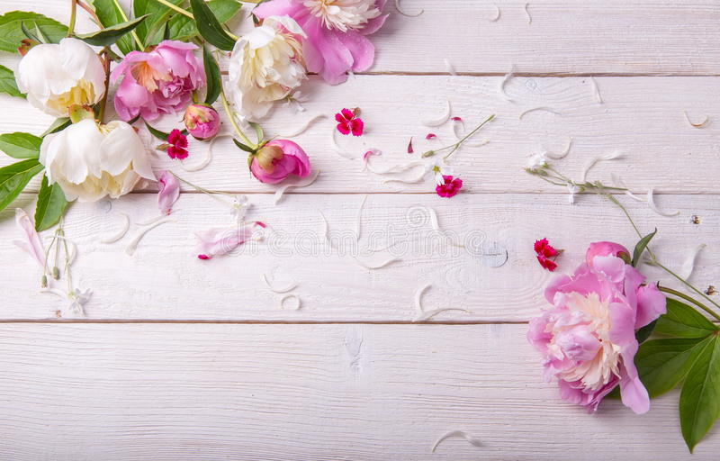 Stunning pink peonies on white rustic wooden background. Copy space royalty free stock photo