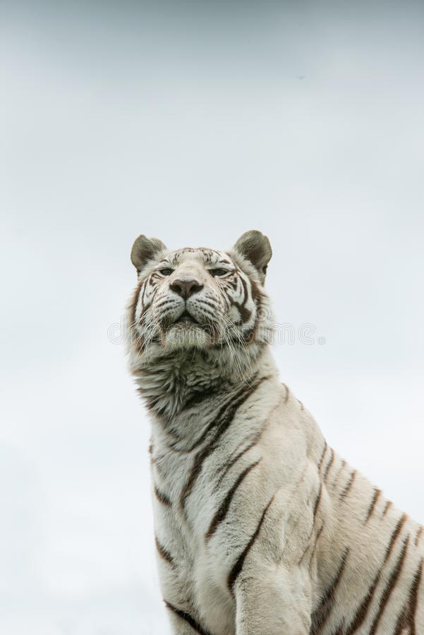 Beautiful portrait image of hybrid white tiger Panthera Tigris i. Stunning portrait image of hybrid white tiger Panthera Tigris in vibrant landscape and foliage stock photography