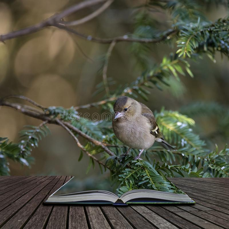 Free Stunning Portrait Of Female Chaffinch Fringilla Coelebs In Tree In Woodland Coming Out Of Pages Of Open Story Book Stock Images - 134857864