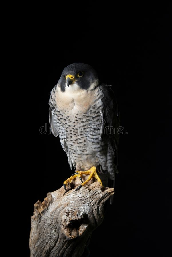 Stunning portrait of Peregrine Falcon Falco Peregrinus in studio setting with dramatic lighting on black background. Beautiful portrait of Peregrine Falcon Falco royalty free stock image
