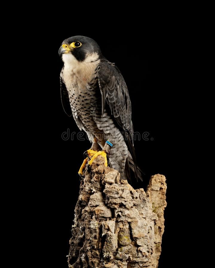 Stunning portrait of Peregrine Falcon Falco Peregrinus in studio setting with dramatic lighting on black background. Beautiful portrait of Peregrine Falcon Falco stock image