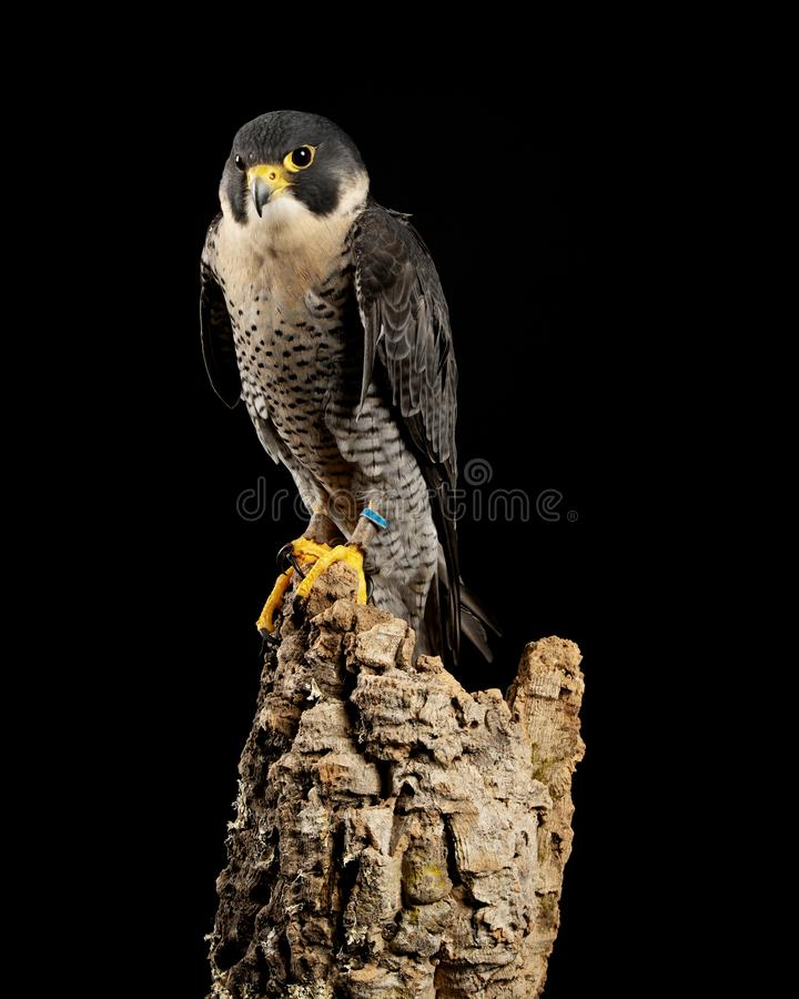 Stunning portrait of Peregrine Falcon Falco Peregrinus in studio setting with dramatic lighting on black background. Beautiful portrait of Peregrine Falcon Falco royalty free stock images