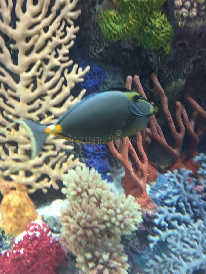 Stunning puffy tropical fish royalty free stock photo