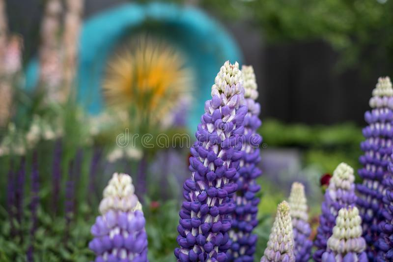 Stunning purple / blue lupins in foreground of award winning garden at Chelsea Flower Show, London UK royalty free stock photography