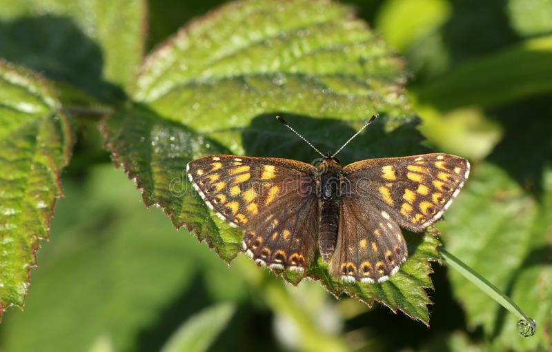 A stunning rare Duke of Burgundy Butterfly, Hamearis lucina, perching on a bramble leaf with its wings open. stock photo