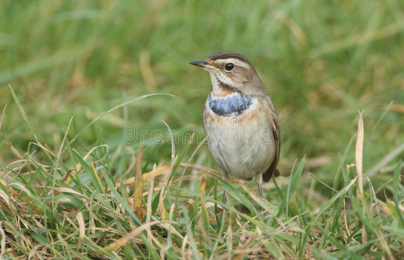 A stunning rare male Bluethroat, Luscinia svecica, searching for food in the grass. stock image