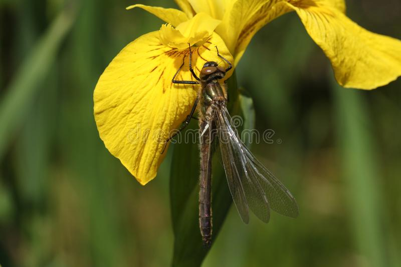 A stunning rare newly emerged Downy Emerald Dragonfly Cordulia aenea perching on a yellow flag flower. A beautiful rare newly emerged Downy Emerald Dragonfly stock photo