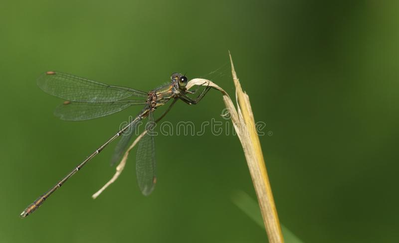 A stunning rare Willow Emerald Damselfly Chalcolestes viridis perched on a grass stem. A beautiful rare Willow Emerald Damselfly Chalcolestes viridis perched on royalty free stock image