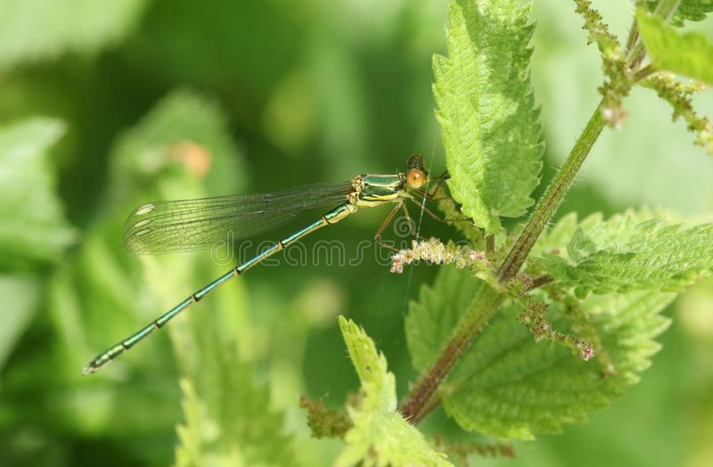 A stunning rare Willow Emerald Damselfly, Chalcolestes viridis, perched on a Stinging Nettle plant. stock photography