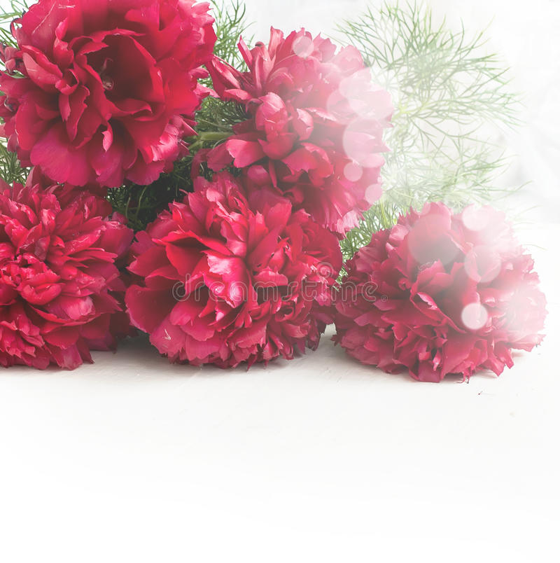 Stunning red peonies on white background stock photo