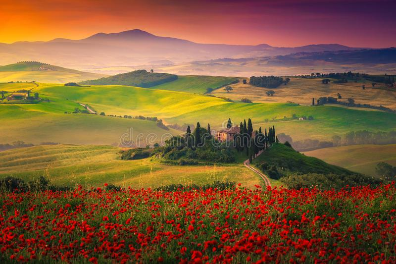 Stunning red poppies blossom on meadows in Tuscany, Pienza, Italy royalty free stock image