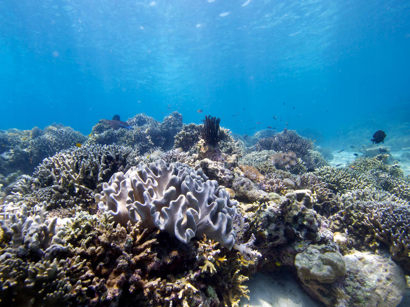 Stunning reef top at Menjangan Island 01. Its always great to see large areas of healthy hard and soft corals and that's exactly what you get on the walls and stock image