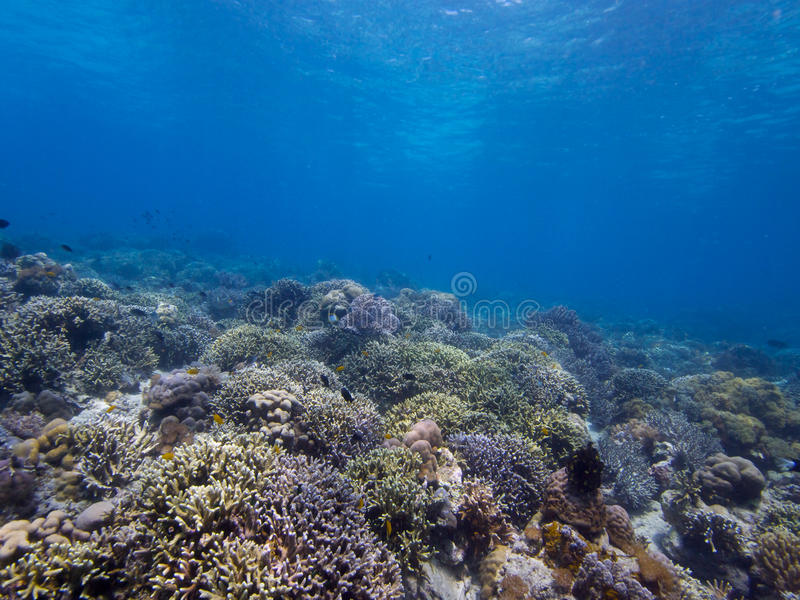 Stunning reef top at Menjangan Island 02. Its always great to see large areas of healthy hard and soft corals and that's exactly what you get on the walls and royalty free stock images
