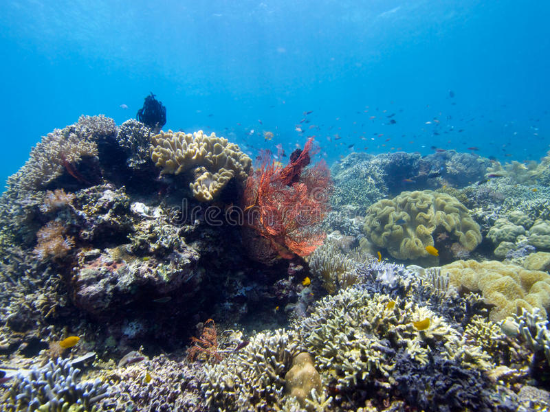 Stunning reef top at Menjangan Island 05. Its always great to see large areas of healthy hard and soft corals and that's exactly what you get on the walls and royalty free stock images
