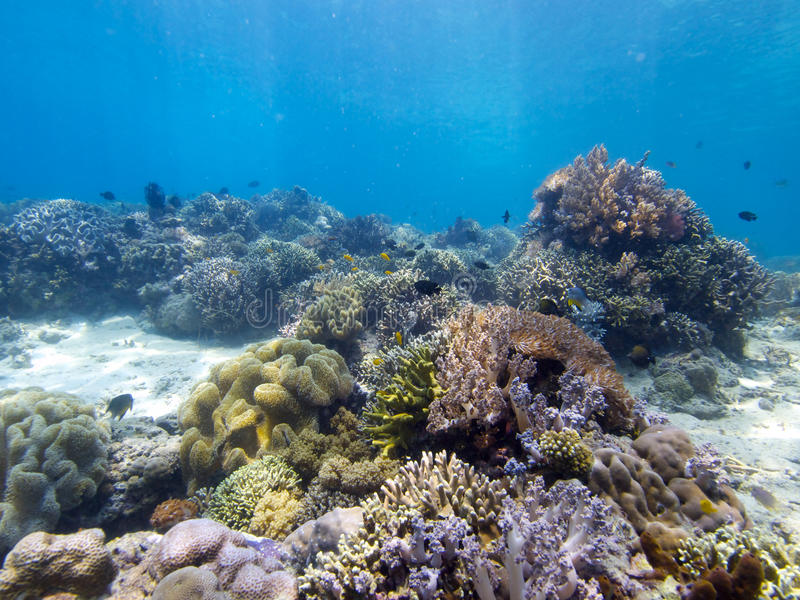 Stunning reef top at Menjangan Island 03. Its always great to see large areas of healthy hard and soft corals and that's exactly what you get on the walls and stock image