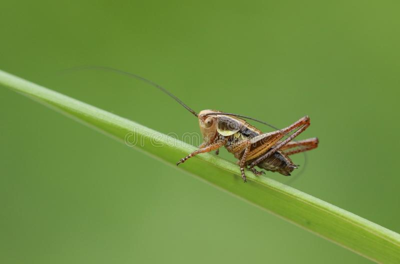 A stunning Roesel`s Bush-cricket Metrioptera roeselii perching on a blade of grass. royalty free stock images