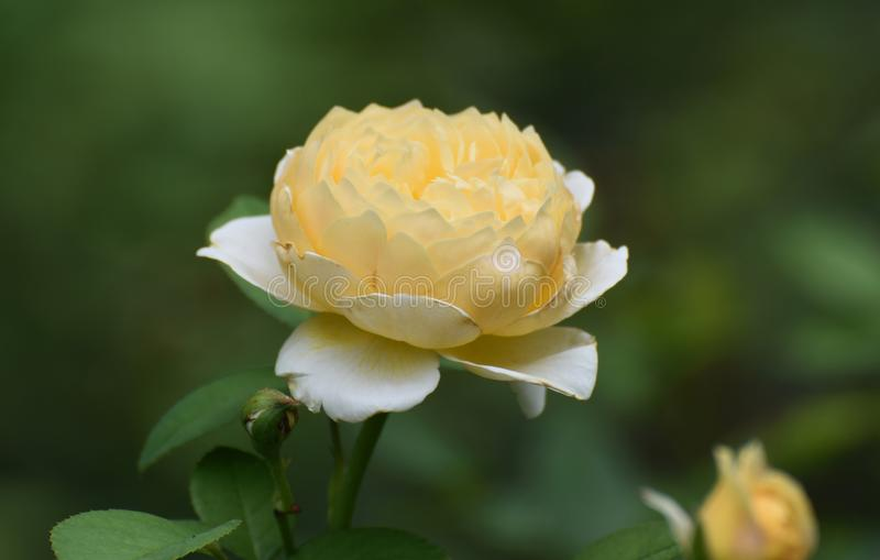 Great Image of a Yellow Rose in Full Bloom royalty free stock photos