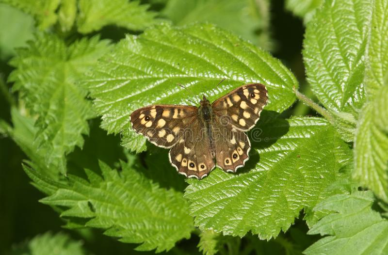 A stunning Speckled Wood butterfly Pararge aegeria perched on a leaf. A pretty Speckled Wood butterfly Pararge aegeria perched on a leaf royalty free stock images