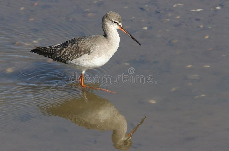 A stunning Spotted Redshank Tringa erythropus searching for food in a sea estuary. stock photography