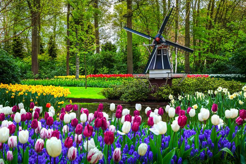 Dutch windmill and colorful fresh tulips in Keukenhof park, Netherlands royalty free stock image