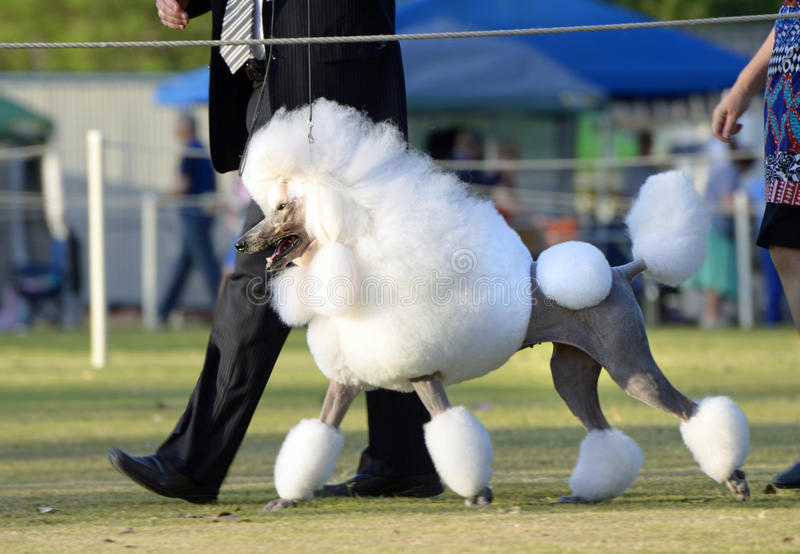 Stunning standard white poodle in show ring of dog show royalty free stock images