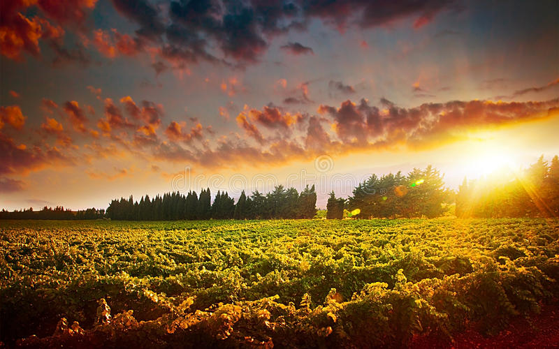 Stunning sunset landscape of grape field stock photo