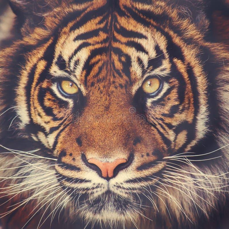 Stunning tiger face. Stunning female Sumatran tiger face closeup royalty free stock photo