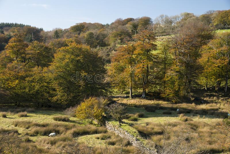 Stunning vibrant Autumn Fall forest woodland in Dartmoor with go. Beautiful vibrant Autumn Fall forest woodland in Dartmoor with gorgeous sunlight hitting trees stock image