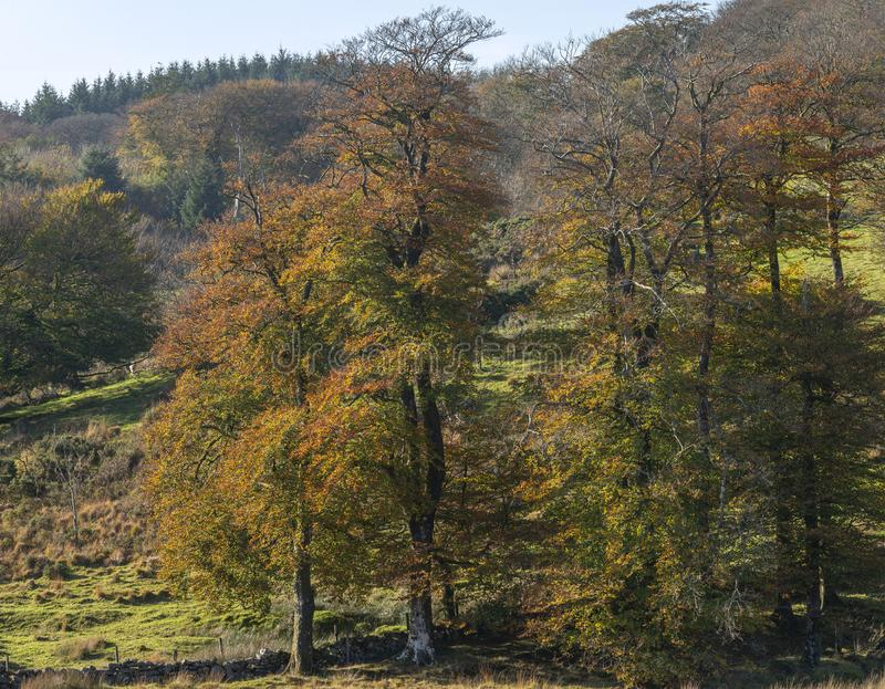 Stunning vibrant Autumn Fall forest woodland in Dartmoor with go. Beautiful vibrant Autumn Fall forest woodland in Dartmoor with gorgeous sunlight hitting trees stock images