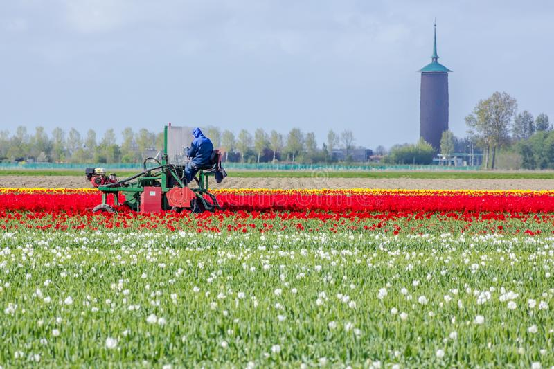 Stunning, vibrant tulip field with farm heading machine with tower in background stock photography