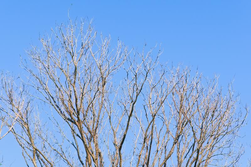 A stunning view of a bare leafed tree, under a deep blue sky, readying itself for spring. royalty free stock photography