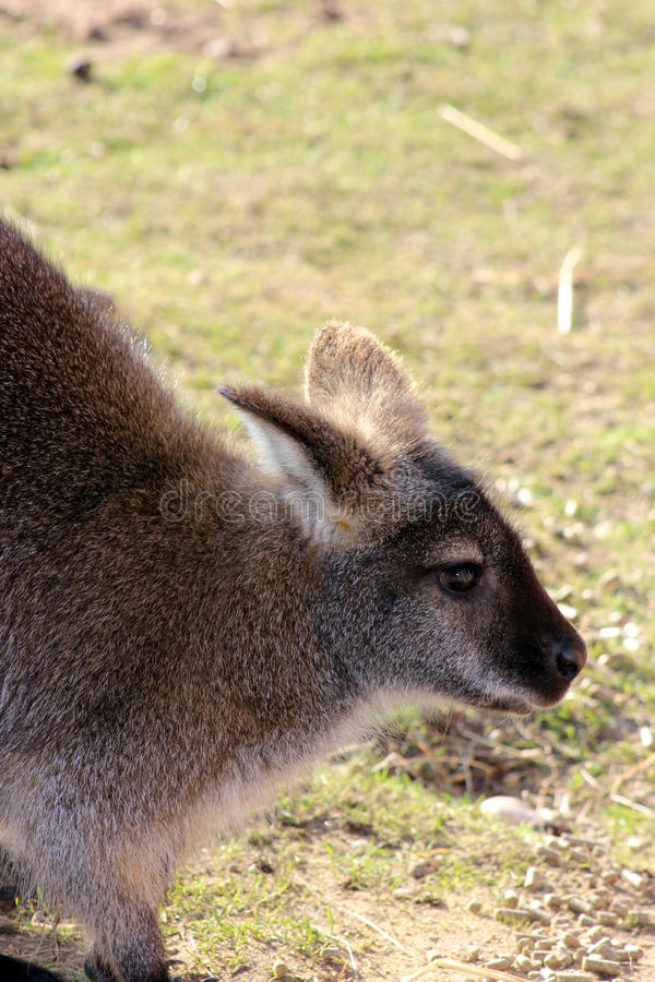 Stunning wallaby stock photos